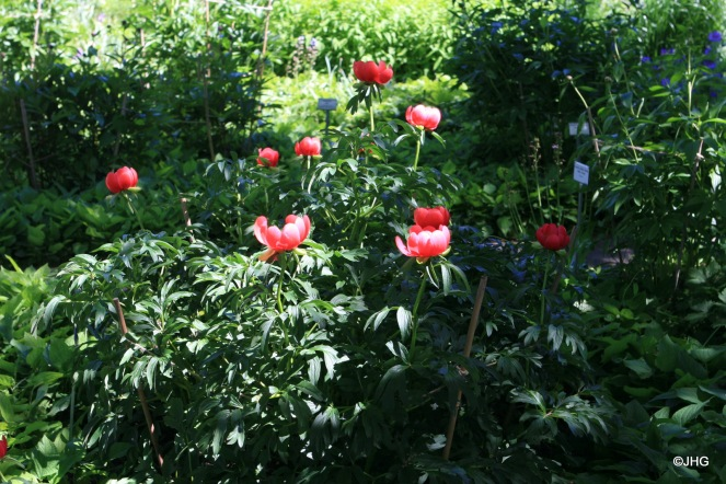 02-Paeonia peregrina_Otto Froebel_0426