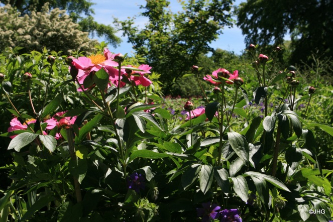 06-Paeonia lactiflora-Hybride_Thoma_0432