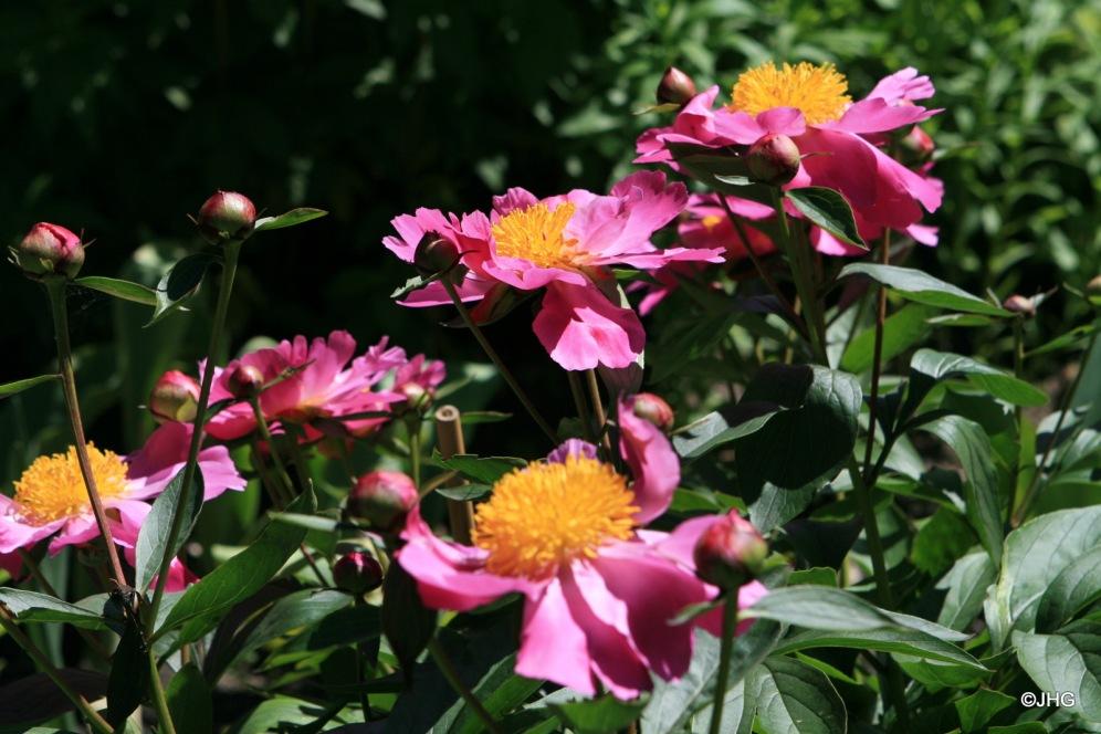 07-Paeonia lactiflora-Hybride_Thoma_0433