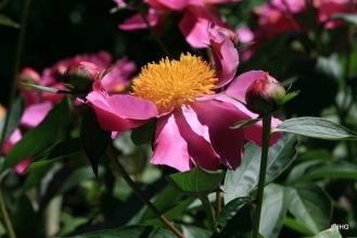 08-Paeonia lactiflora-Hybride_Thoma_0434