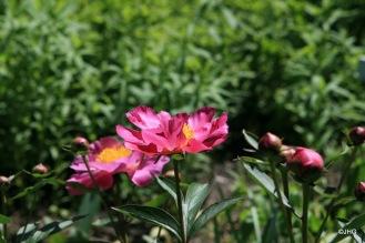 09-Paeonia lactiflora-Hybride_Thoma_0435