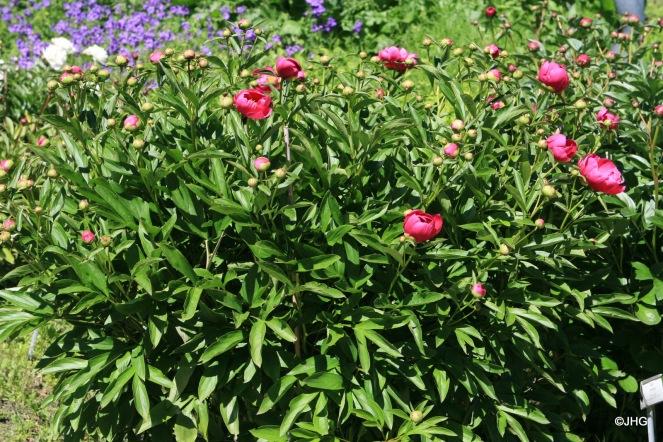 18-Paeonia-Lactiflora-Hybride-Schwindt_0631