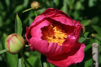 19-Paeonia-Lactiflora-Hybride-Schwindt_0633