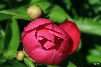 22-Paeonia-Lactiflora-Hybride-Schwindt_0636
