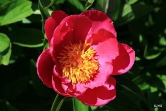 23-Paeonia-Lactiflora-Hybride-Schwindt_0637