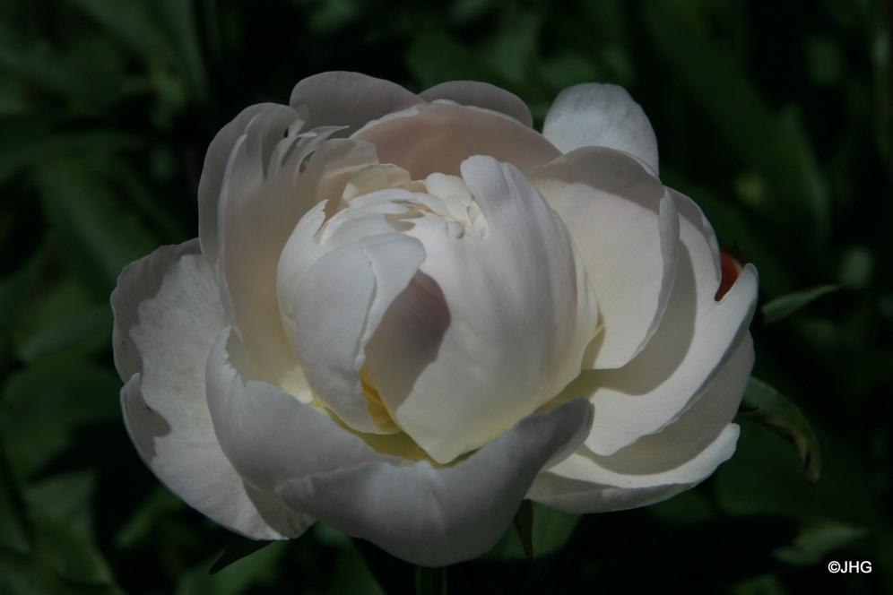 26-Paeonia-Lactiflora-Hybride-Formosa Alba_0644