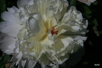 27-Paeonia-Lactiflora-Hybride-Formosa Alba_0645